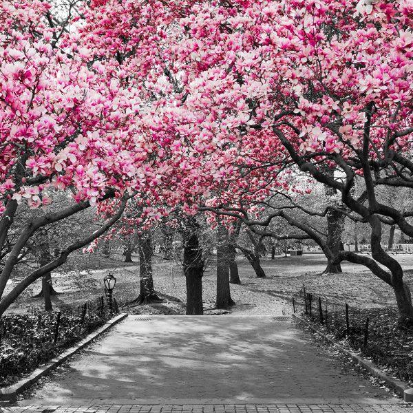 Вишневые деревья